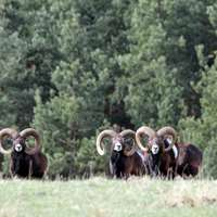 Mouflon Hunt near Prague