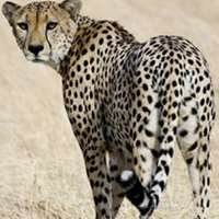 10 Day Cheetah / Plains Game Hunt 2020