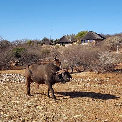 Cape Buffalo Package