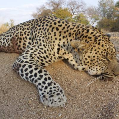 Leopard / Plains Game - Niassa 2020