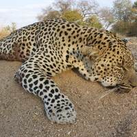 Leopard / Plains Game - Niassa 2022