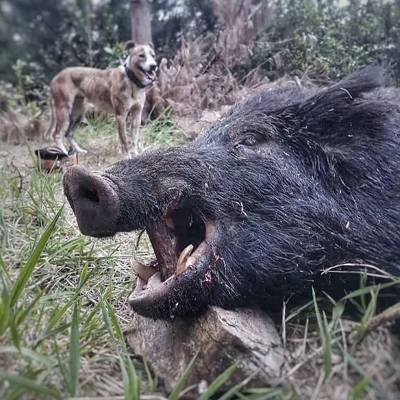 Hanmer Springs Pig Hunting Package 1x1