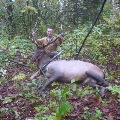 Manchurian wapiti hunt in the rut