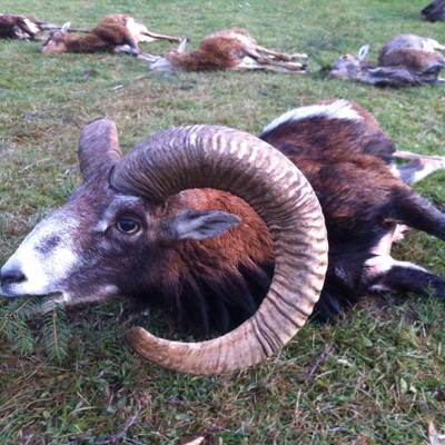 Mouflon hunt - length (cm) based, 2019