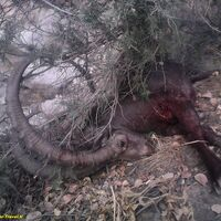 Mid-Asian Ibex hunt
