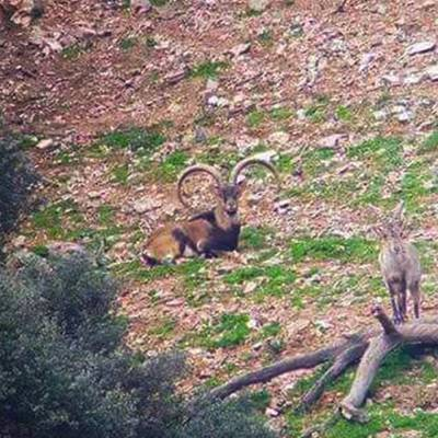 South-Eastern / Ronda Ibex
