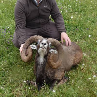 Iberian Mouflon Sheep & wild boar hunt
