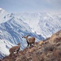 Himalayan Blue sheep hunt