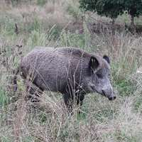 Wild boar high seat hunt in the fence