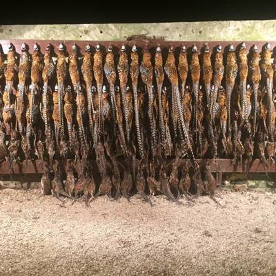 Revered Pheasant Hunt