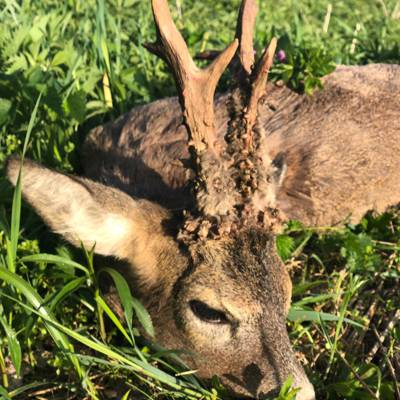Roe Buck Hunt
