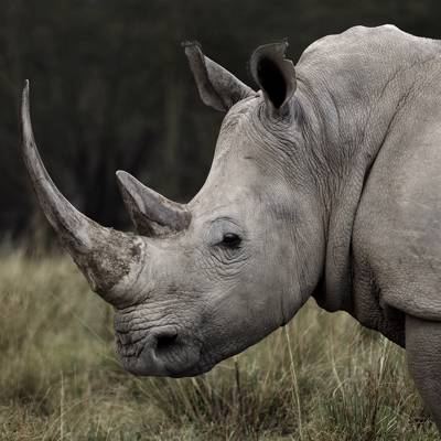 Big 5 Vita Darting - White Rhino