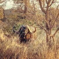Limpopo Buffalo Hunt 1x1