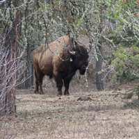 European Bison or Wisent