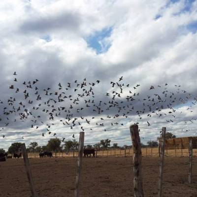 4 Day Dove & Pigeon Shooting