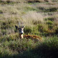 Roe deer spring hunt