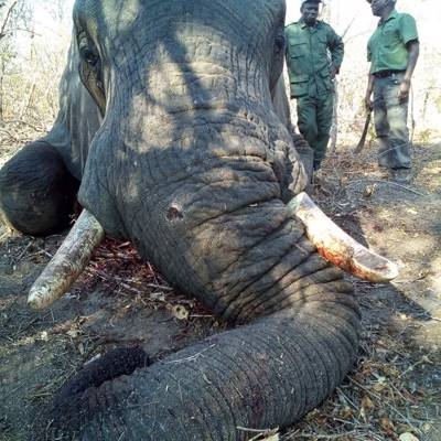12 days Elephant Hunt (no size limit)