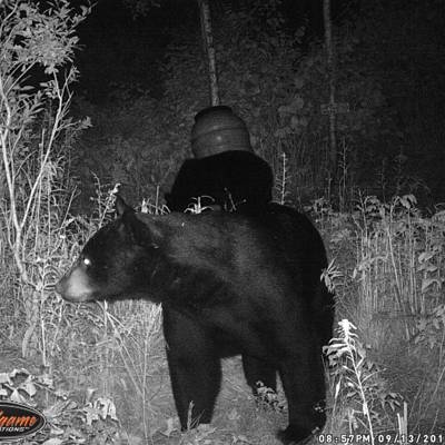 Black Bear Over Bait Week 2 (2019)