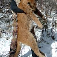 Spring Mountain Lion Hunt - last spot!