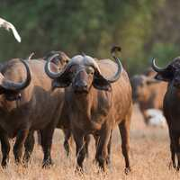 Special: Buffalo Cow Hunt