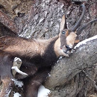 Pyrenean Chamois hunt 19-20