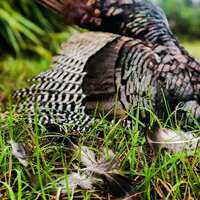 Florida Osceola Turkey Hunt
