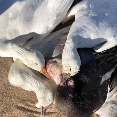 3 Day Snow Goose Conservation