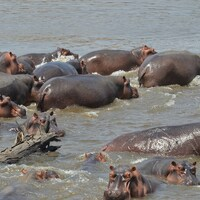 Hippo Culling Hunt: 2 Hunters x 6 Hippos