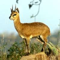 Klipspringer hunting