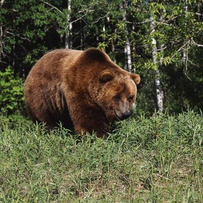 European brown bear hunt 2020
