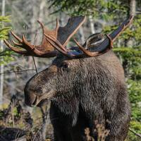 Prime Moose Rut Hunt