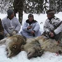 Wolf Hunt over baits