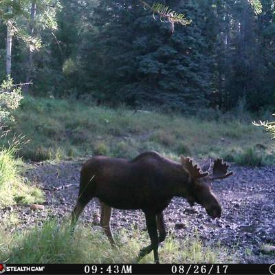 Archery Moose/Whitetail Combo '20
