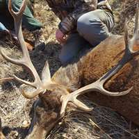 Pyrenean Hunt: Red Deer 2020