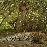 Tuskless Elephant / Leopard Hunt