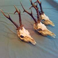 Roe buck hunting October 27-31