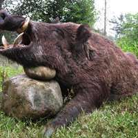 Big wild boar hunting in Bulgaria