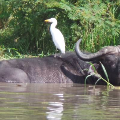 2:2 Nile Buffalo, Kob & Bushbuck Safari