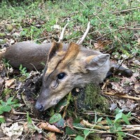 Muntjac Deer Hunt