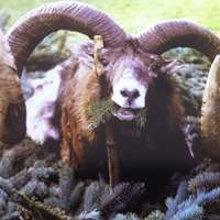 Mouflon hunt gold medal - flat rate