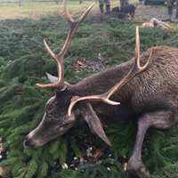 Red Deer Stag Hunt in Pulawy