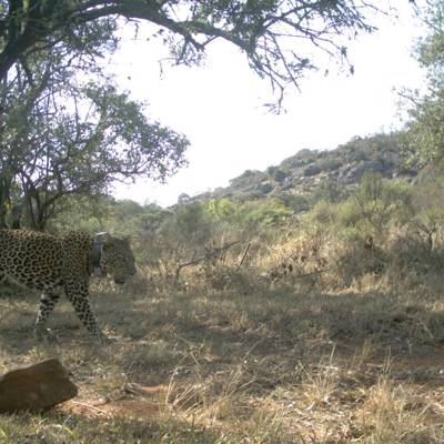 Leopard over Hounds DARTED Safari