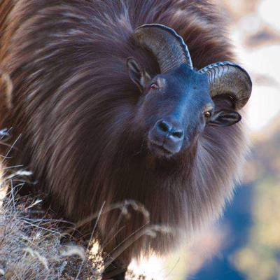 Tahr & Chamois Package