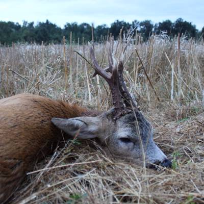 Hunt 1 Roe Buck Incl.